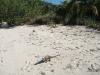 Allan's Cay iguana, Bahamas, Jan 2009
