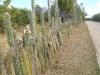 Cactus fence, Bonaire