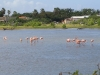 Flamingoes, Bonaire