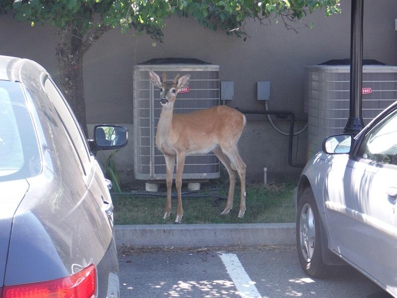 Deer, July 2016