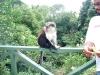Mona Monkey, Grenada
