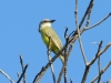 Western kingbird, Nov2016