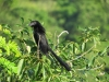 Groove-billed Ani, Nov2016