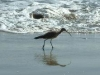 Whimbrel on Miramar beach Mexico2006
