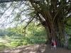 Big tree ColimaFeb2015