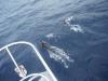 Chamela dolphins Feb2016