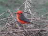 Another Vermillion flycatcher, Dec2015