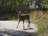 Mule deer in Calgary