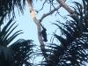 Monkey, Panama