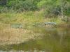 Aransas Refuge gator